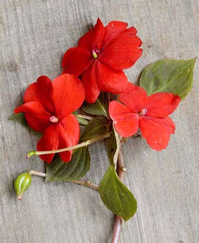 Impatiens with seed pods, one mature, one immature Photo: Pam Peirce