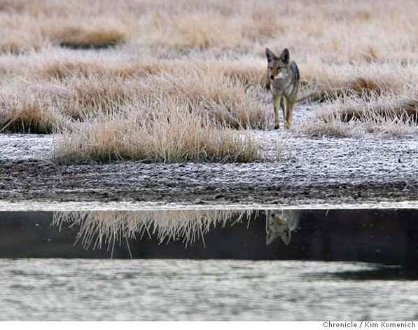 "A coyote comes in for a drink at Dry Lake Thursday morning. Dry Lake is part of the sweeping view of the nearly pristine Sierra Nevada landscape near Truckee known as the Martis Valley. It opens to the public for the first time in nearly four decades, thanks to a $23.5 million deal to preserve the 1,462-acre Waddle Ranch. The ranch's ""no trespassing"" signs will be removed from trails leading to the lush valley, complete with grazing bears and other wildlife, will be open to the public  Photo by Kim Komenich/The Chronicle  ** Photo: Kim Komenich"