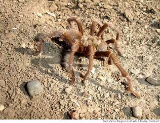 Why are Bay Area tarantulas emerging from their burrows? Sex