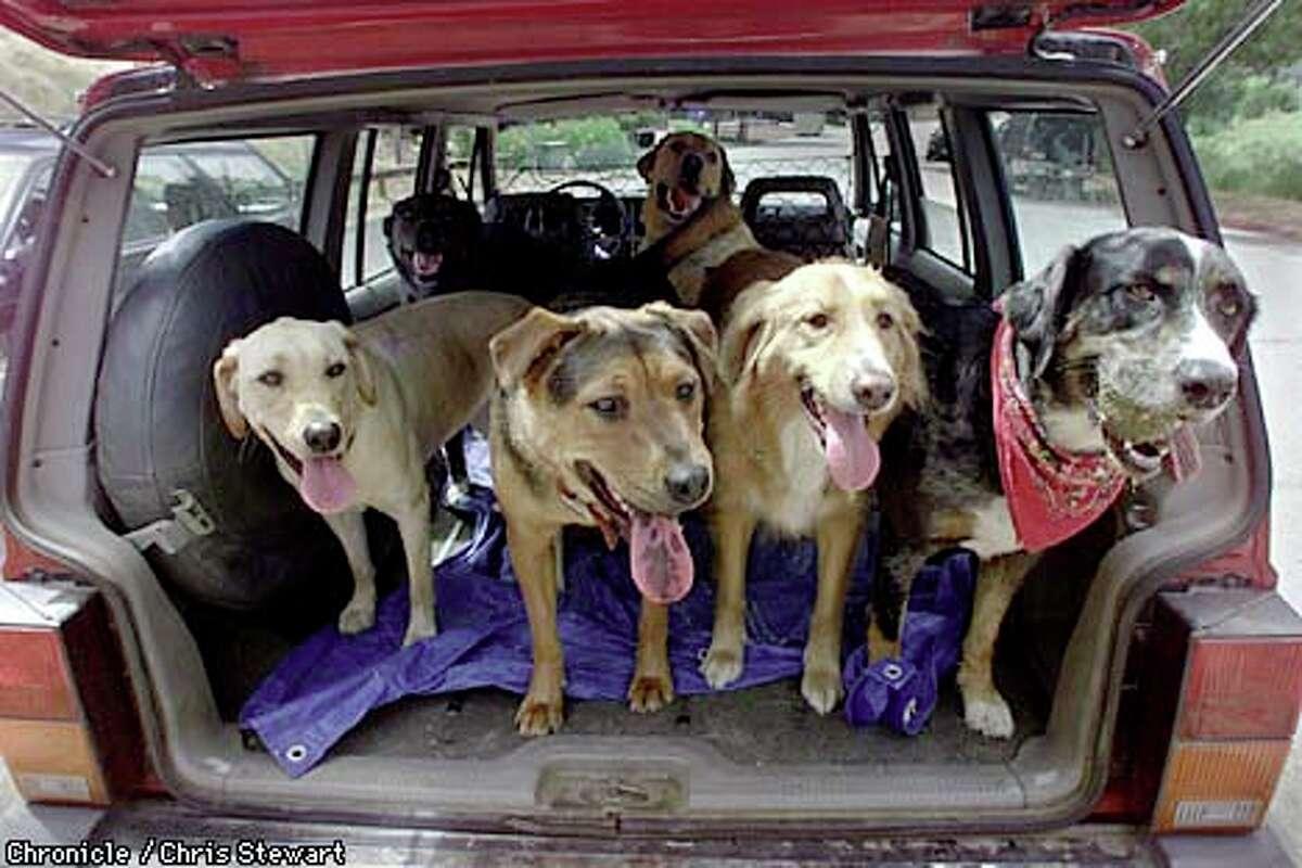 A half dozen dogs dutifully hopped into Liz Campana's vehicle following a walk near Fairfax. Chronicle photo by Chris Stewart