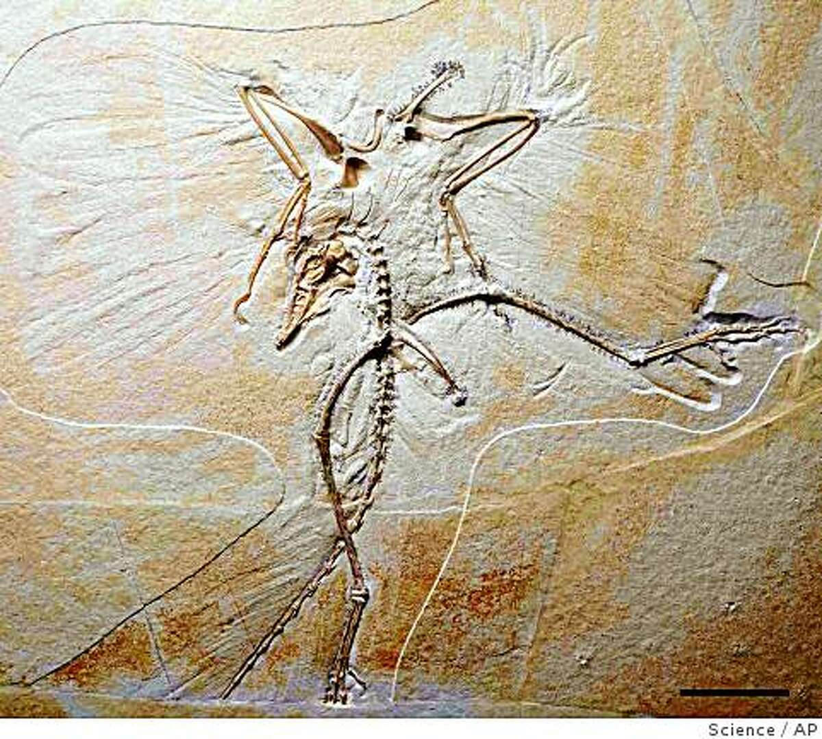 This image provided by the journal Science shows the skeleton, with wing and tail feather impressions, of the tenth specimen of the first known bird, Archaeopteryx, in ventral view. The new specimen provides important details on the feet and skull of these birds and strengthens the widely but not universally accepted argument that modern birds arose from theropod dinosaurs. (AP Photo/Science) Ran on: 12-02-2005 This new archaeopteryx specimen shows skeleton and feather impressions, and it provides new details about the animal's feet. This image provided by the journal Science shows the skeleton, with wing and tail feather impressions, of the tenth specimen of the first known bird, Archaeopteryx, in ventral view. The new specimen provides important details on the feet and skull of these birds and strengthens the widely but not universally accepted argument that modern birds arose from theropod dinosaurs. (AP Photo/Science)