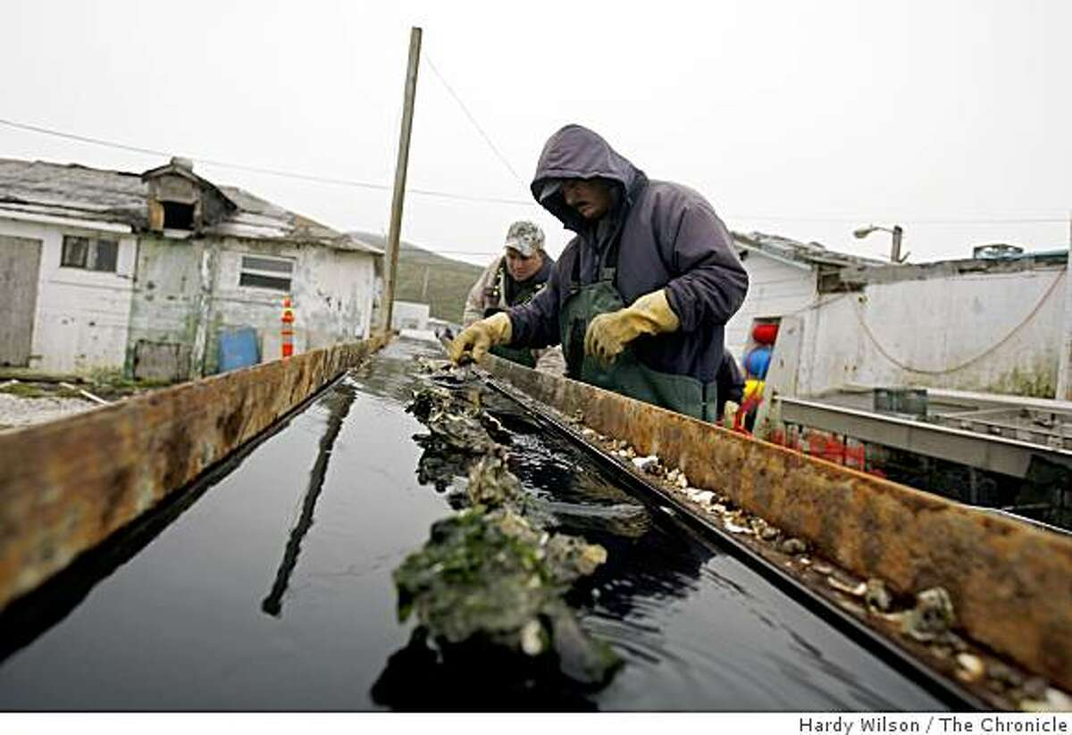 Sandro Roblero, right, and Manuel Manso, center, separate oysters at Drakes Bay Oyster Company in Inverness, Calif., on Tuesday, May 5, 2009. The oyster company learned today that their company was not harming the ecosystem and environment as environmentalists had said they were.