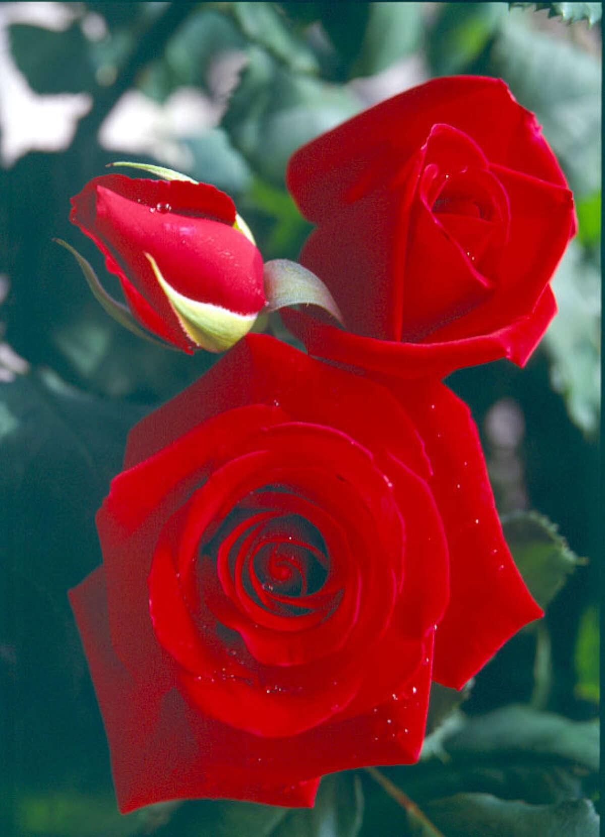 Veterans Honor rose