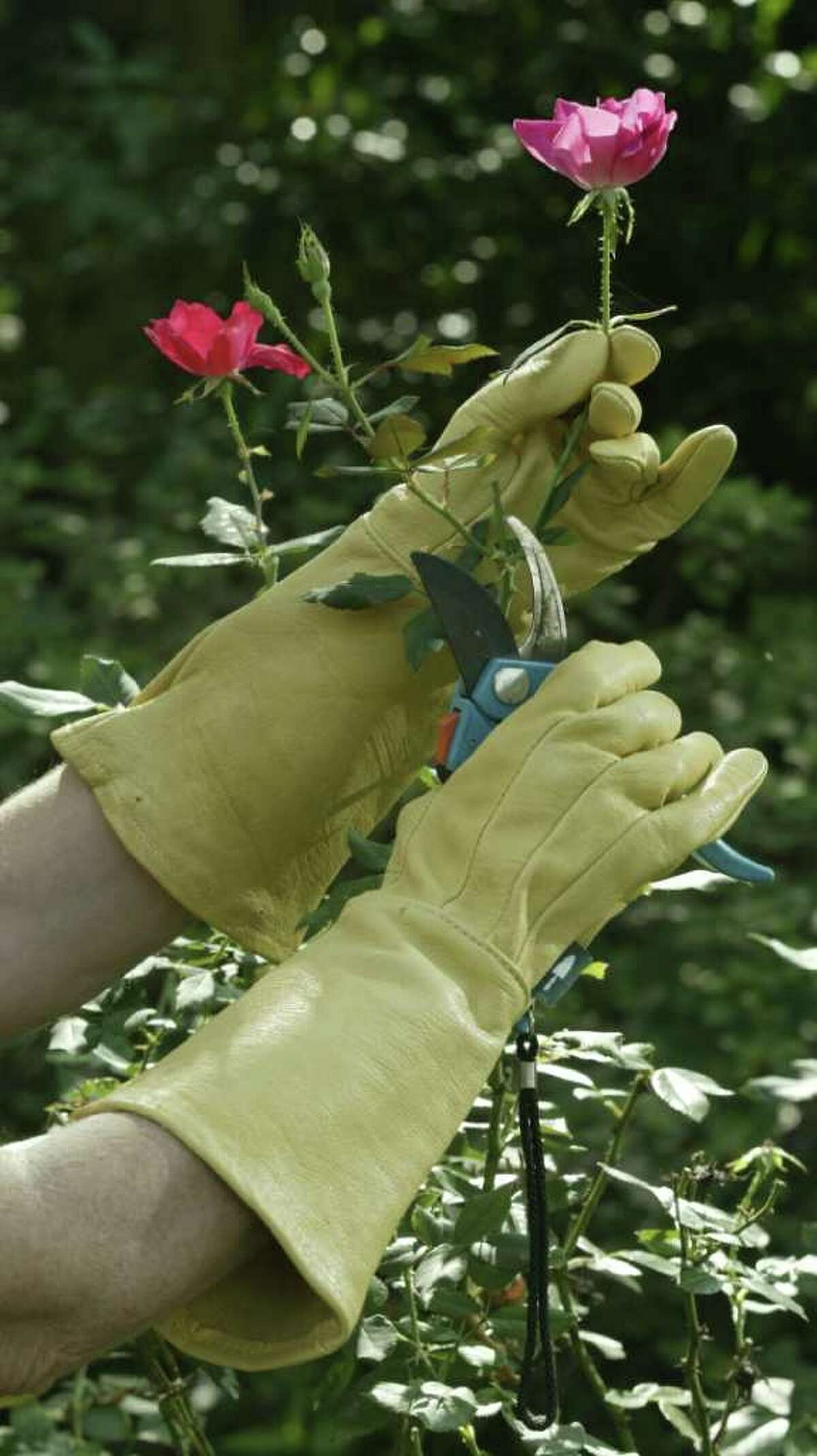 Garden gloves protect the hand from sharp prickles when pruning.