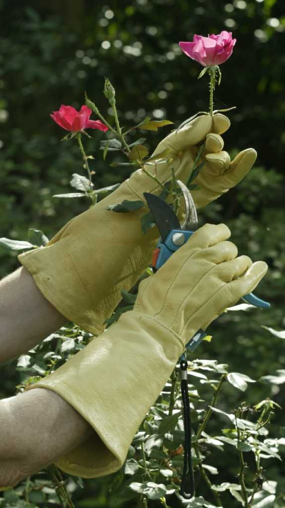Time To Prune Your Roses San Antonio Express News