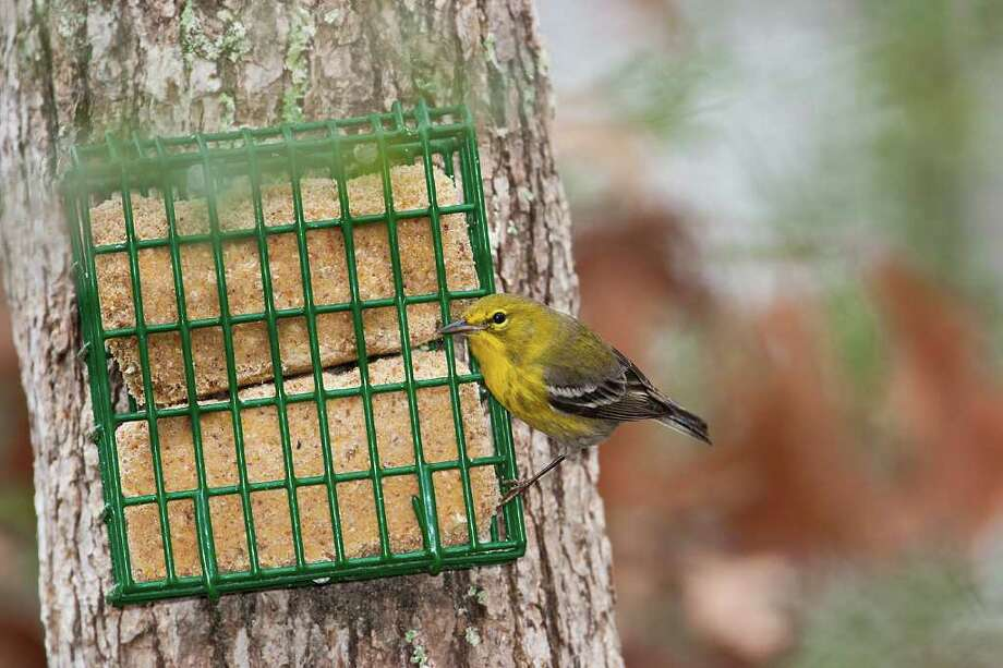 Watch birds, such as this pine warbler, in your backyard and participate in the Great Backyard Bird Count Feb. 17-20. Photo: Kathy Adams Clark, Courtesy / Kathy Adams Clark/KAC Productions