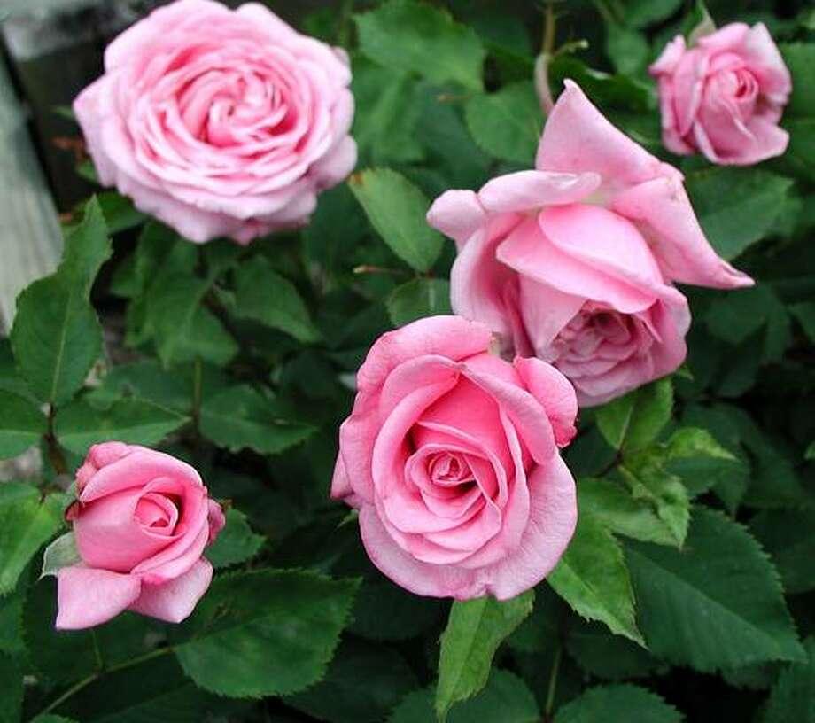 """""""Belinda's Dream"""" is among the easy-growing Earth-Kind rose selections. Photo: David Rodriguez, Courtesy"""