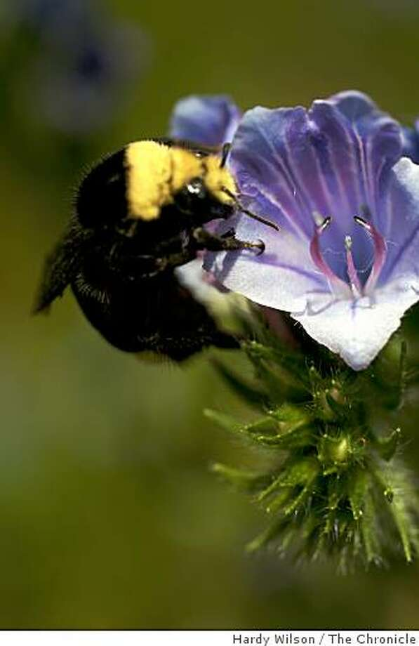 A female bumblebee feeds off a Ceanothus flower at San Francisco State University in San Francisco, Calif., on Tuesday, April 21, 2009. Gretchen LeBuhn (not pictured), an associate professor at the school, runs the Bay Area part of the Sunflower Project, a joint U.S.-Canadian program designed to figure out how good park and backyard habitats are for bees. Photo: Hardy Wilson, The Chronicle