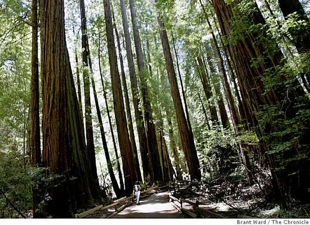 A lone park visitor walked beneath the towering redwoods on the main trail at Muir Woods Tuesday, June 10, 2008. Muir Woods has been called one of the quietest parks in the nation by the Coalition of National Park Services. Photo: Brant Ward, The Chronicle