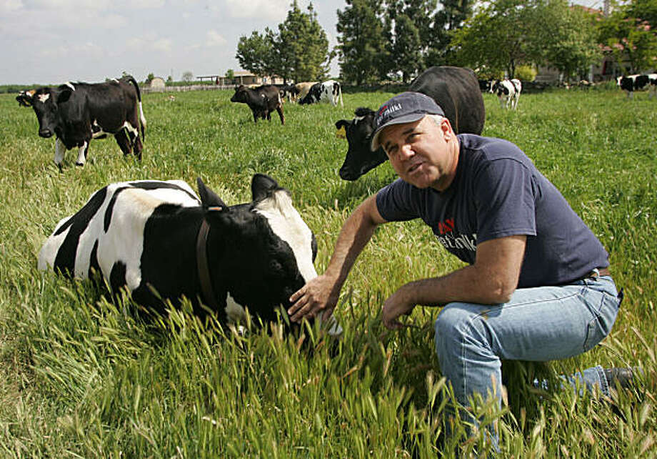"RAISIN CITY, CA. -- --  4/23/10 -- --  Mark McAfee, organic dairy farmer,  in a field with his cows. He began a program in which customers pay $1,800 to ""rescue"" a cow from a conventional dairy or slaughterhouse, these cows come to his farm where he raises them and produces organic dairy products. He has added 40 cows and is ready to add 40 more.     MARK CROSSE / THE FRESNO BEE Photo: Mark Crosse, The Fresno Bee"
