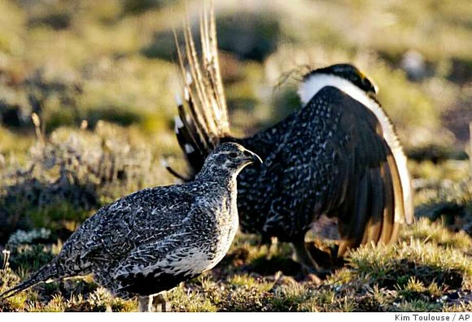 ** ADVANCE FOR WEEKEND OF APRIL 11-12 ** FILE - This April 2007 file  photo provided by the Nevada Department of Wildlife shows a male and female sage grouse in the mountains near Reno Nev. Conservationists say federal rules that allow livestock grazing and oil and gas development across 25 million acres of public land in the West are illegal because they fail to acknowledge the harmful affects on sage grouse. (AP Photo/Nevada Department of Wildlife, Kim Toulouse, File) Photo: Kim Toulouse, AP