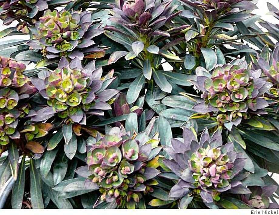 Euphorbia 'Blackbird' Photo: Erle Nickel