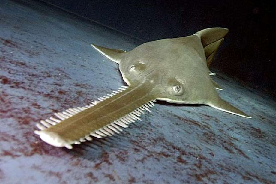 Buzz, the sawfish in the the Shark Experience tank at Six Flags Discovery Kingdom in Vallejo, Calif. on Wednesday, November 24, 2010 is a unique elasmobranchs that possess a large toothed rostrum, or saw as it is commonly called.  The body is flattened and they spend much of their time lying on the sea bottom..  Buzz has lived at Six Flags for nearly two decades -- since April 14, 1991 Ð when he measured 13 feet long and weighed over 250 lbs.  Sawfish are rays that inhabit nearshore waters in tropical, subtropical and warm-temperate regions of the world. Kat Wade / Special to the Chronicle Photo: Kat Wade, Special To The Chronicle
