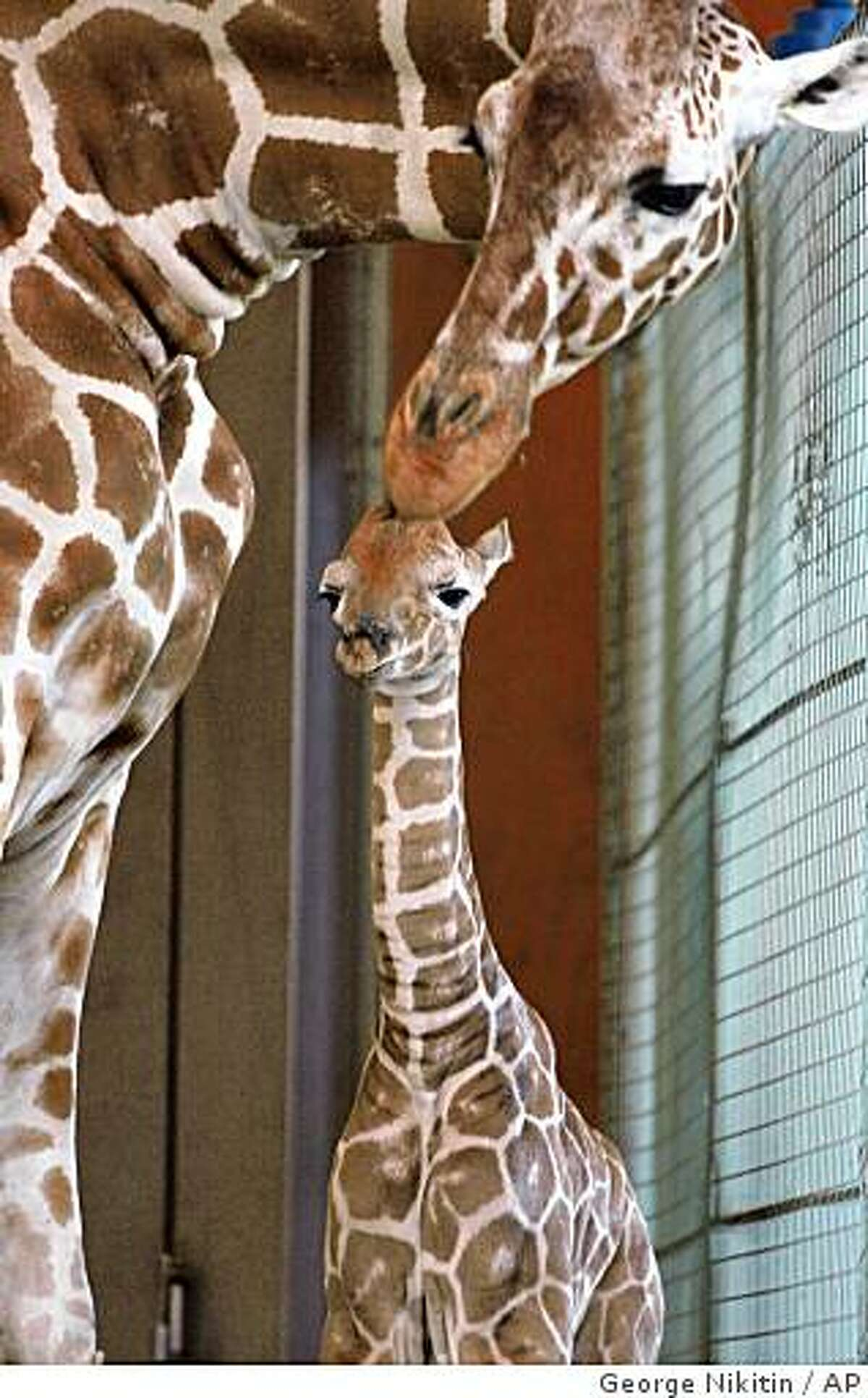 In this photo provided by the San Francisco Zoo, a baby reticulated giraffe calf is nuzzled by its mother, Kristin, at the San Francisco Zoo, Thursday, April 2, 2009 in San Francisco, Calif. This is Kristin's third calf and marks the sixth calf sired by Floyd at the San Francisco Zoo. The calf was born this morning at sun-up. Giraffe females give birth standing up after the 14 to 15 month gestation period, a six foot drop for the Calf's entrance into the world.