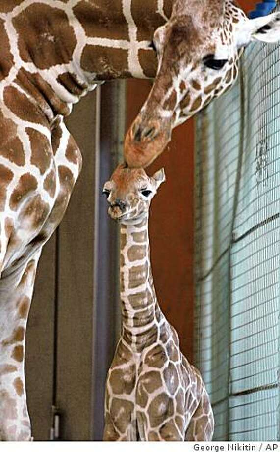 In this photo provided by the San Francisco Zoo, a baby reticulated giraffe calf is nuzzled by its mother, Kristin, at the San Francisco Zoo, Thursday, April 2, 2009 in San Francisco, Calif. This is Kristin's third calf and marks the sixth calf sired by Floyd at the San Francisco Zoo. The calf was born this morning at sun-up. Giraffe females give birth standing up after the 14 to 15 month gestation period, a six foot drop for the Calf's entrance into the world. Photo: George Nikitin, AP