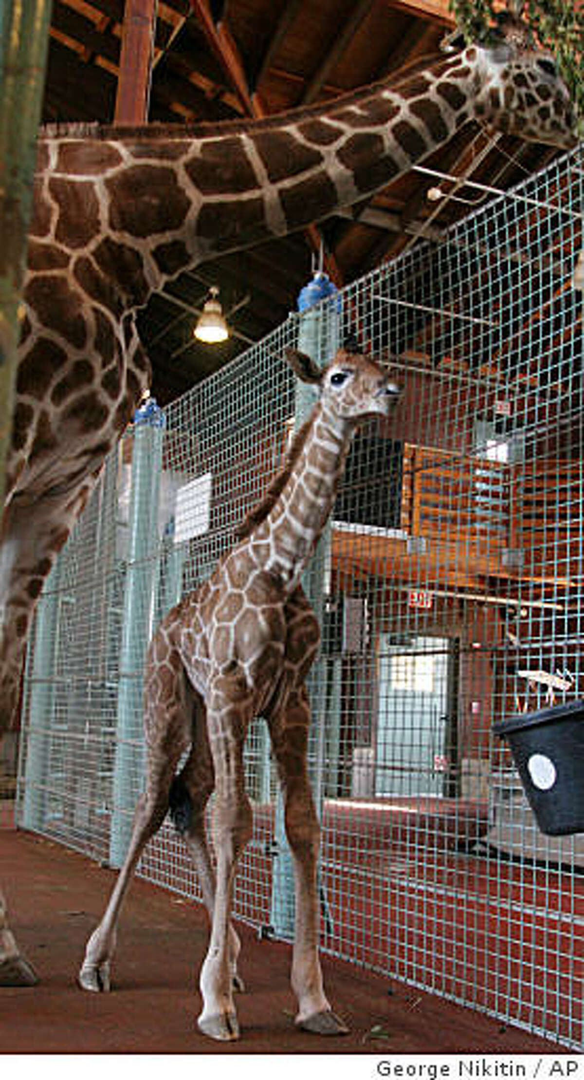In this photo released by the San Francisco Zoo, a baby reticulated giraffe calf walks under its mother, Kristin, at the San Francisco Zoo, Thursday, April 2, 2009 in San Francisco, Calif.