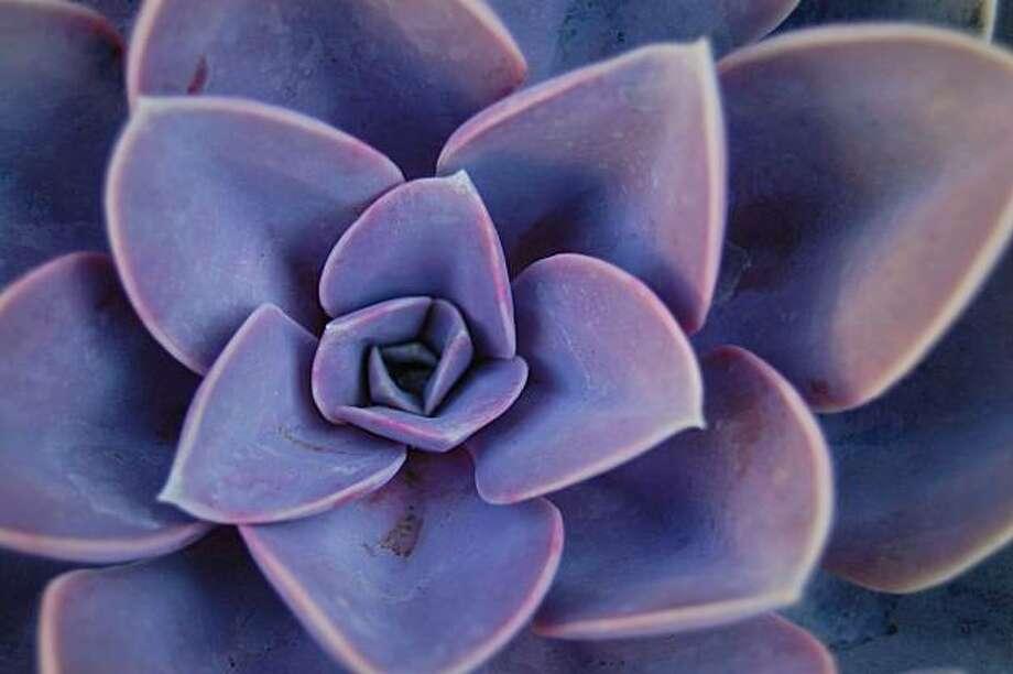 Echeveria 'Perle von Nurnberg' Photo: Erle Nickel