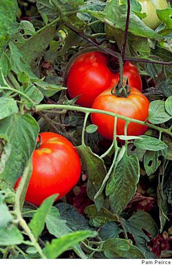 Our spring dreams often include a summer of sweet, ripe, homegrown tomatoes. Photo: Pam Peirce