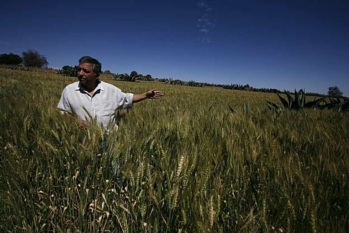 ** ADVANCE FOR USE ON SUNDAY, NOV. 7, 2010 AND THEREAFTER ** In this Thursday, Oct. 13, 2010 picture, wheat farmer Jose Emiglio Taboada walks in his field in the Tlaxcala valleys of central Mexico. Growing wheat, he said, is