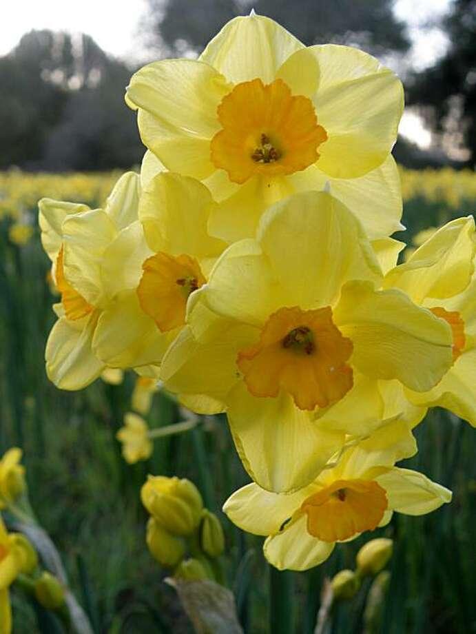 Daffodil, 'Golden Dawn' Photo: Lucy Tolmach