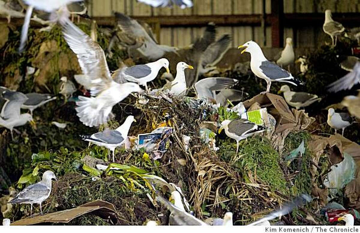 Gulls feed on foodscraps collected from restaurants and residences in San Francisco at Norcal Waste in Brisbane, Calif.