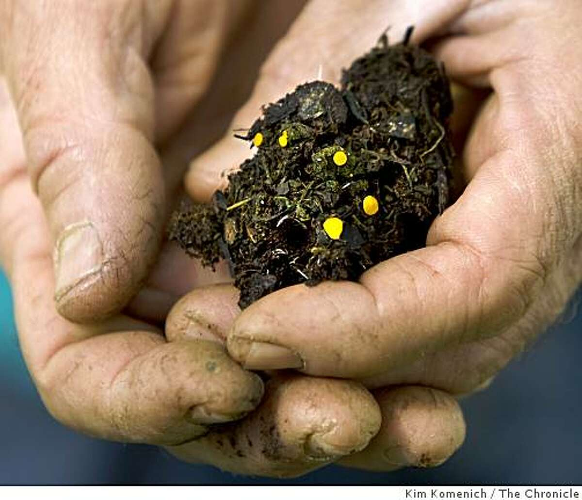 Agronomist Bob Shaffer holds compost made from San Francisco food scraps at Green String Farms outside Petaluma, Calif. Interspersed with the brown material is naturally-growing cyanobacteria (green) and fungus (yellow) -- important components of the compost.