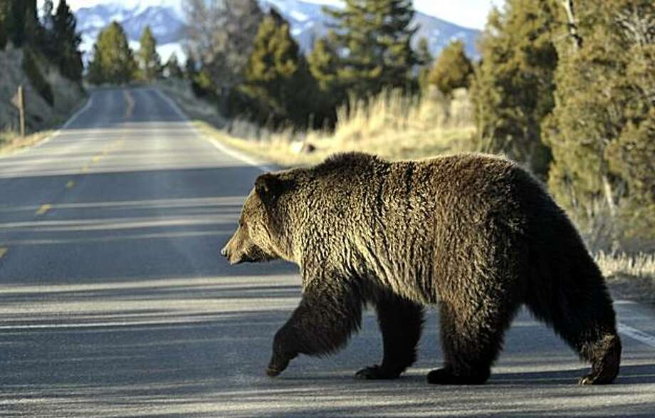 FILE - In this May 4, 2009 file photo, a grizzly bear walks across a road near Mammoth, Wyo., in Yellowstone Park. Grizzly bear numbers in the three-state region in and around Yellowstone National Park have hit their highest level in decades. At least 603grizzlies now roam the Yellowstone area of Wyoming, Montana and Idaho. Photo: David Grubbs, AP