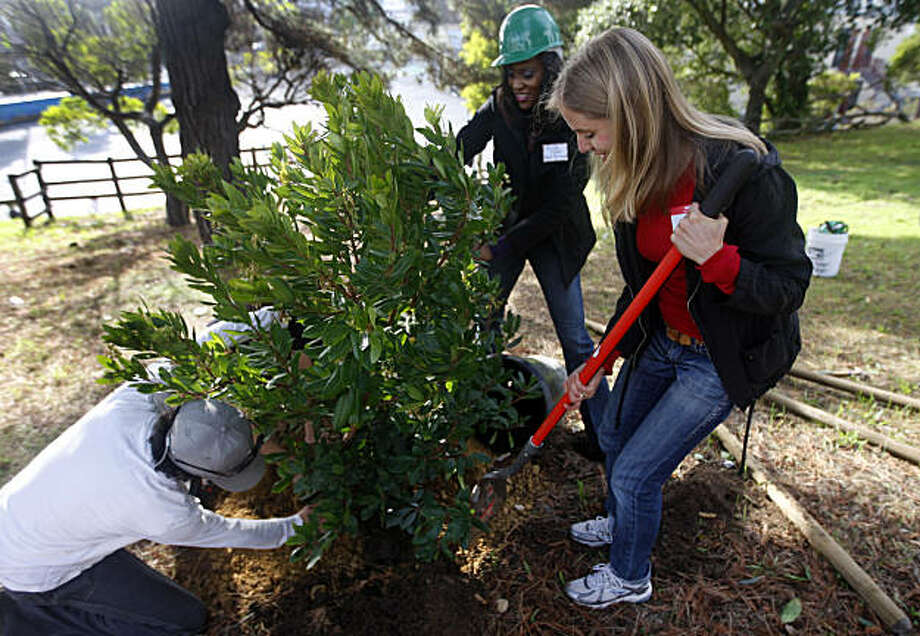 Volunteers plant one of 13 trees into the ground at Dr. Charles Drew College Prep Academy in San Francisco, Calif., on Saturday, Nov. 6, 2010. Photo: Paul Chinn, The Chronicle