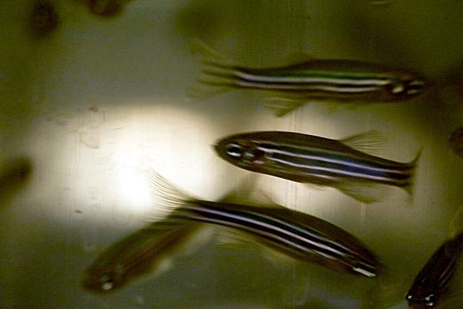 UCSF genetics professor Didier Stainier (cq both names) is researching heart development in embryonic zebrafish in order to learn more about the genetic development of human hearts. Photo: Jerry Telfer, The Chronicle