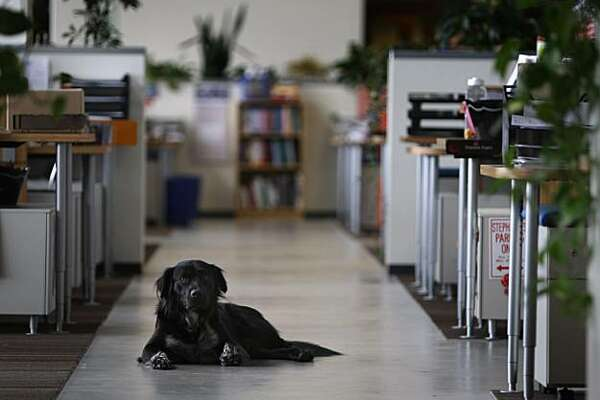 A dog named Rigby gets comfortable at Clif Bar's new corporate headquarters in Emeryville, Calif., on Thursday, Oct. 28, 2010, where four-legged pets of employees are more than welcome to spend the day.
