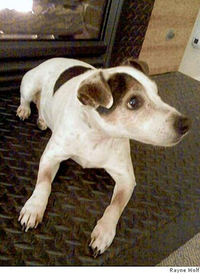Jack russell terrier named Whiskey with strange brown patches onhis forepaws Photo: Rayne Wolf