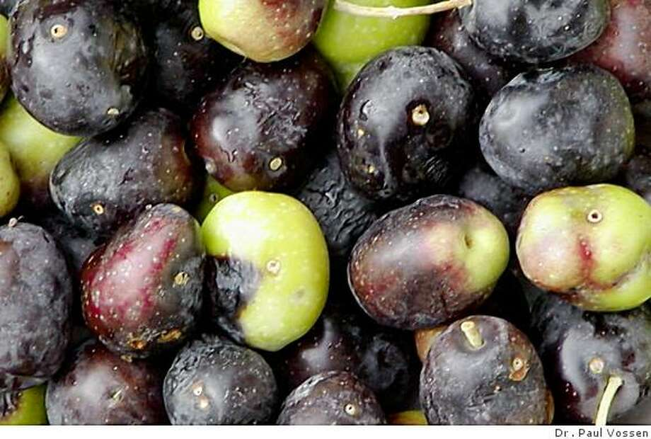 These olives show damage by the olive fruit fly. Photo: Dr . Paul Vossen