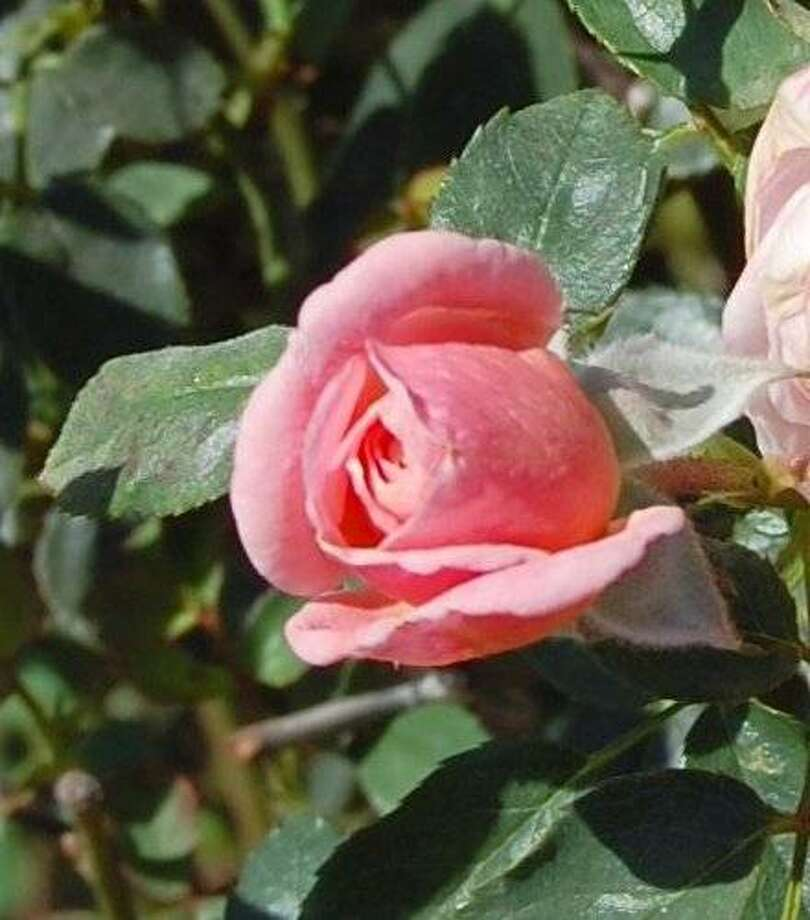 Because San Jose's Heritage Rose Garden has 4,000 varieties, you might be able to identify an unknown rose among them. This one is the miniature rose 'Donna Faye'. Photo: Heritage Rose Garden, San Jose