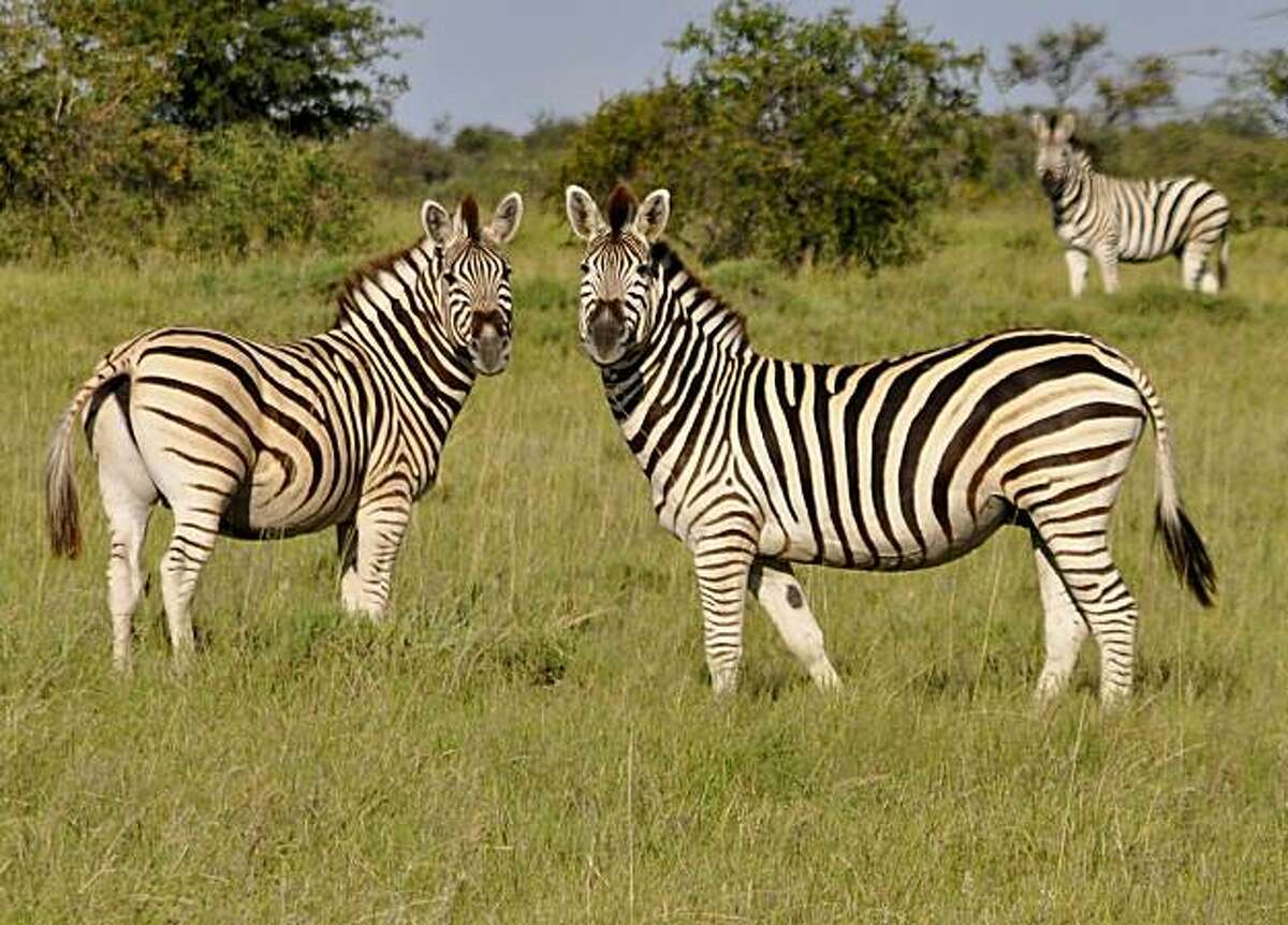 Up to 75,000 zebra and wildebeest congregate in the Makgadikgadi during southern Africa's last surviving zebra and wildebeest migration.