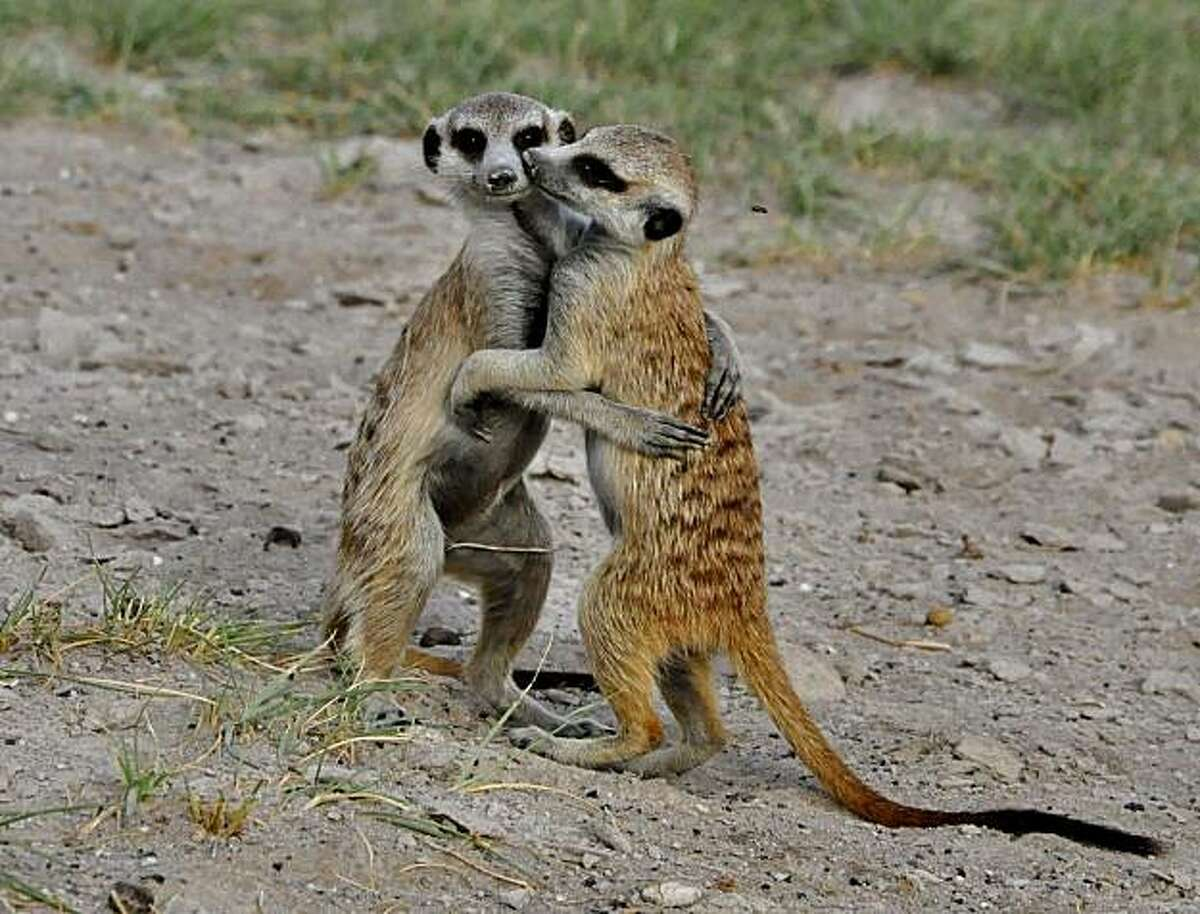 Meerkats are very sociable, often engaging in playful activities that can resemble wrestling.