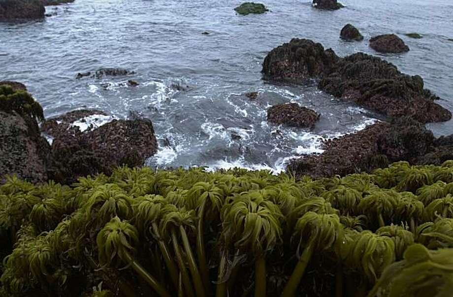 SEAWEEDg-C-28MAY02-FD-LA Sea Palms--- a varity of seaweed along the Mendocino shoreline. Photo: Lacy Atkins, The Chronicle