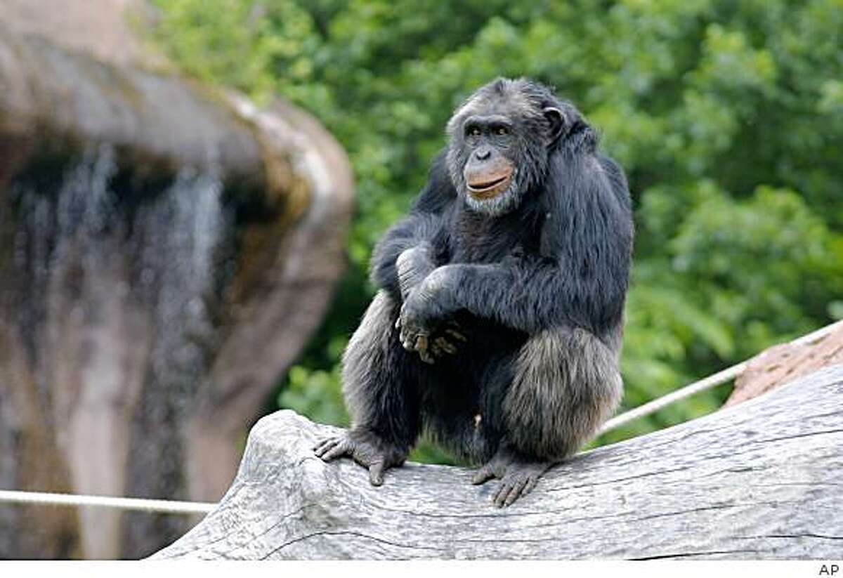 In this undated image released by Sweden's Furuvik Zoo, Santino the chimpanzee is seen in his enclosure at the zoo in Furuvik, Sweden. A canny chimpanzee who calmly collected a stash of rocks and then hurled them at zoo visitors in fits of rage has confirmed that apes can plan ahead just like humans, a Swedish study said Monday, March 9, 2009. Santino the chimpanzee's anti-social behavior stunned both visitors and keepers at the Furuvik Zoo but fascinated researchers because it was so carefully prepared.
