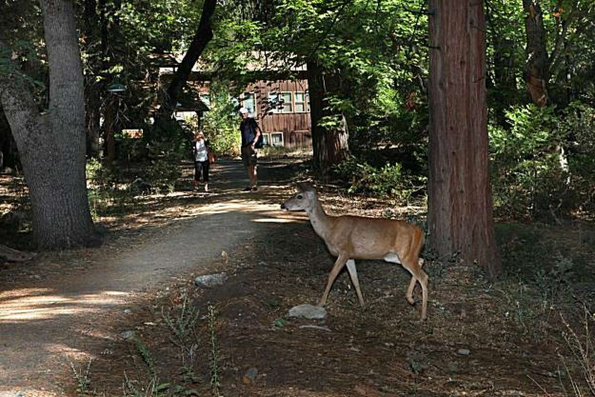 A deer crossing the path to Yosemite Valley Medical Clinic in Yosemite Valley, Calif., on Monday September 13, 2010.