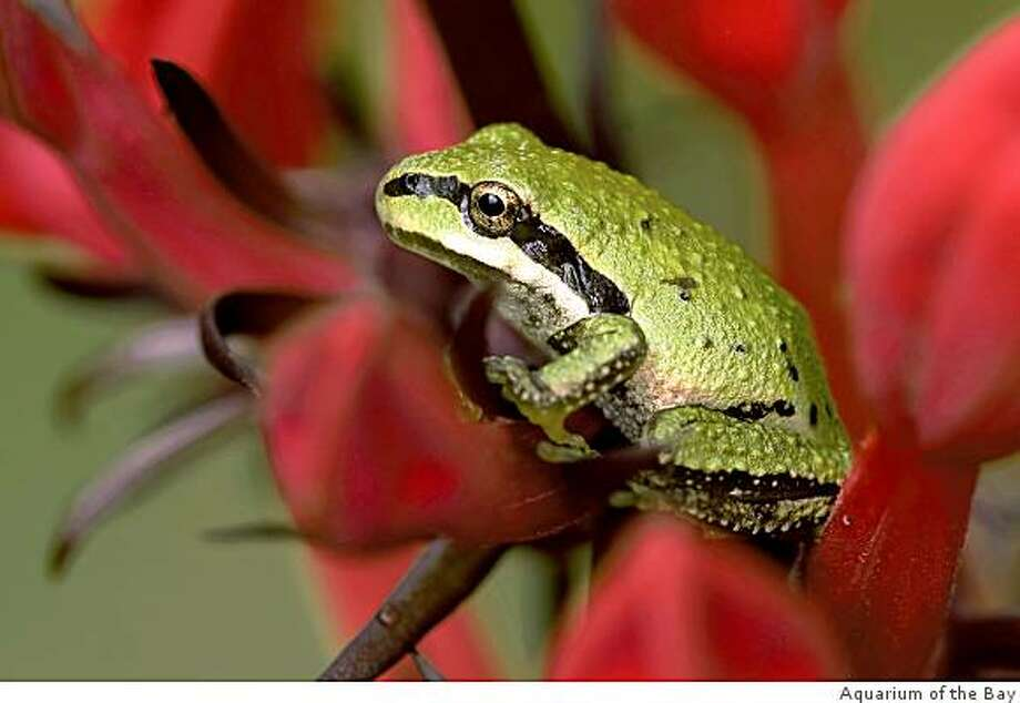 """The Pacific Tree Frog is one of the animals you can learn more about at the Aquarium of the Bay's """"Invasion of the Land Animals"""" event on Sunday, March 8. Photo: Aquarium Of The Bay"""