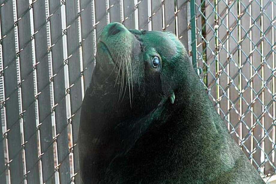 Sgt. Nevis the sea lion recovers from face surgery to repair the entry and exit wounds made by gunshot fired by a man who was sentenced Tuesday in the shooting. The sea lion now lives at Six Flags Discovery Kingdom, where the public can view him. Photo: Courtesy Of Nancy Chan/Six Flags