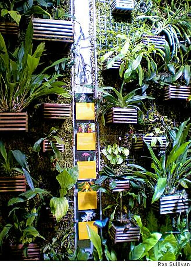 One kind of vertical gardening-indoors. Orchid wall at the California Academy of Sciences' rainforest exhibit. Photo: Ron Sullivan