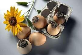 Seed balls in an eggshell in San Francisco, Calif.,  on Thursday, September 30, 2010.