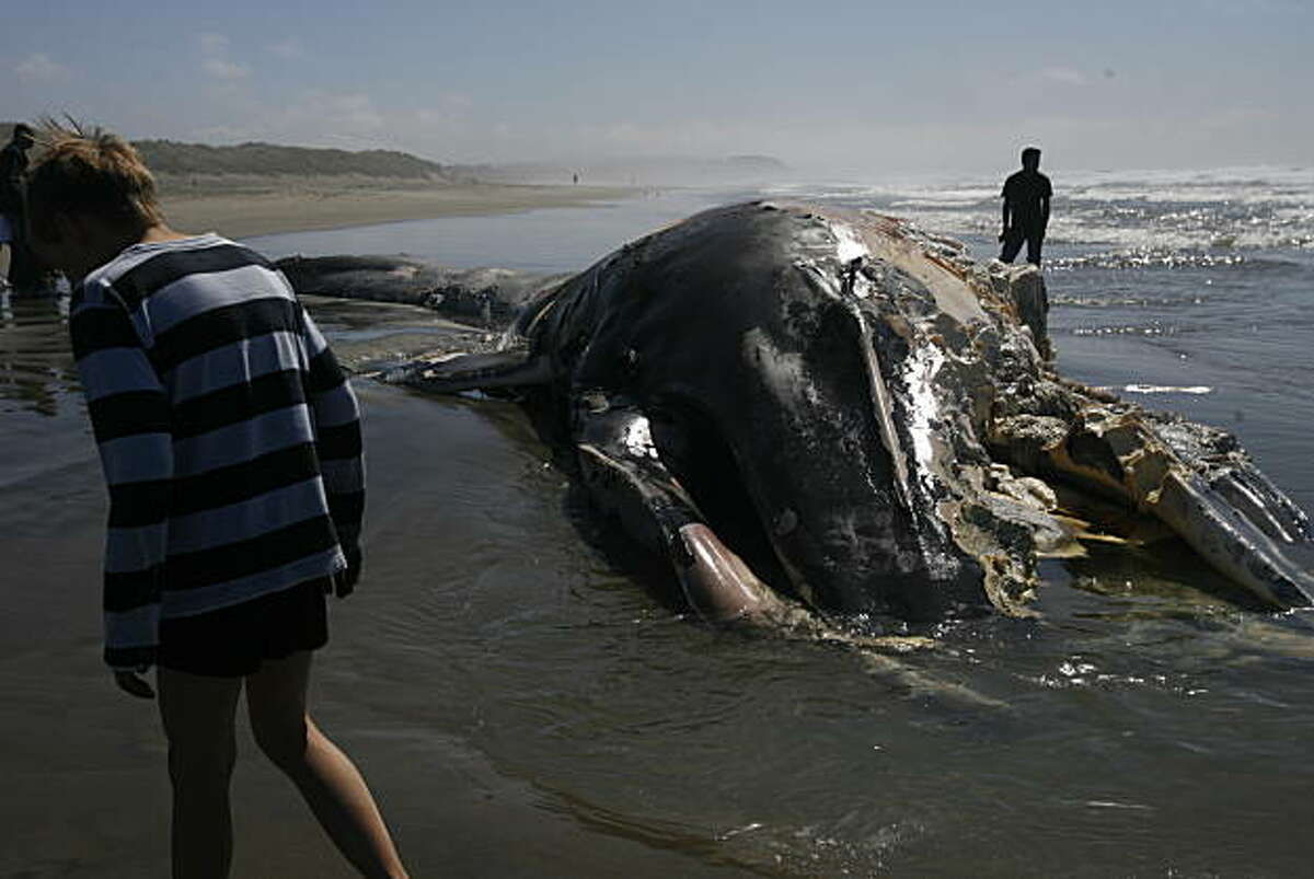A dead whale is found on Ocean Beach in San Francisco, Calif. on Monday morning, Sept. 20, 2010.