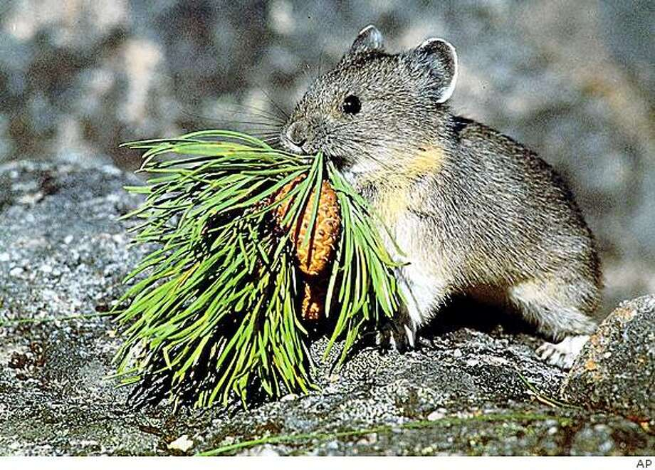 **FILE** In this undated photo provided by the U.S. Geological Survey, a mountain-dwelling American pika is shown. The U.S. Fish and Wildlife Service will decide whether the rabbit-like, alpine creature  should be listed as an endangered species because it is losing habitat due to global warming. (AP Photo/US Geological Survey, File) Photo: AP
