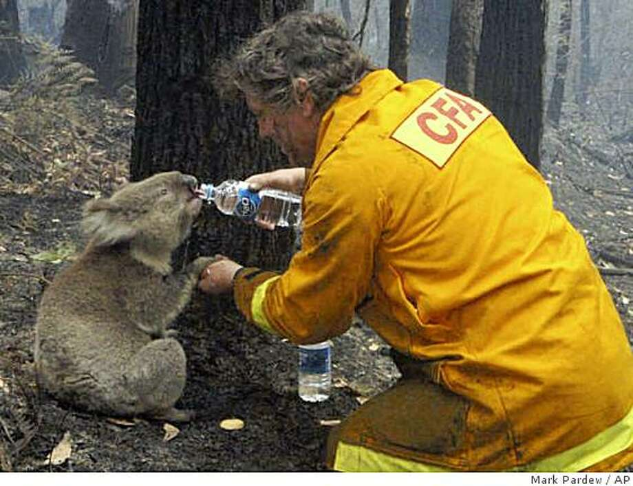 Local CFA firefighter David Tree shares his water with an injured Australian Koala at Mirboo North after wildfires swept through the region on Monday, Feb. 9, 2009. Suspicions that the worst wildfires ever to strike Australia were deliberately set led police to declare crime scenes Monday in towns incinerated by blazes, while investigators moving into the charred landscape discovered more bodies. The death toll stood at 181.(AP Photo/Mark Pardew) Photo: Mark Pardew, AP