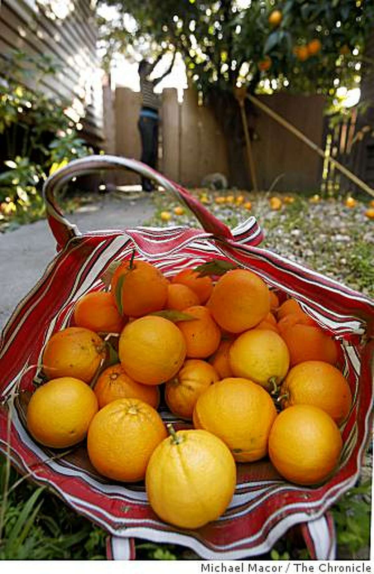 Asiya Wadud, gathers bags of fruit from trees on the side yard of a home in the Rockridge area of Berkeley, Calif., on Friday Jan. 30, 2008, after checking with the owners of the home, of course.
