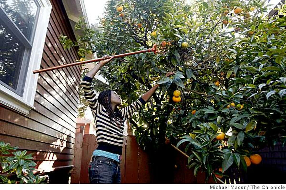 Asiya Wadud, collects oranges from a fruit from tree in the Rockridge area of Berkeley, Calif., on Friday Jan. 30, 2008, after checking with the owners of the home, of course.