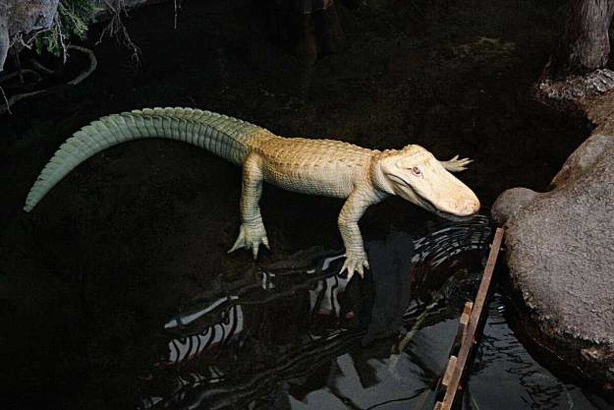 Claude, the albino alligator swims in his swamp at the California Academy of Sciences in San Francisco, Calif. on Sept. 12, 2010. Claude will turn 15 years old on Sept. 15.