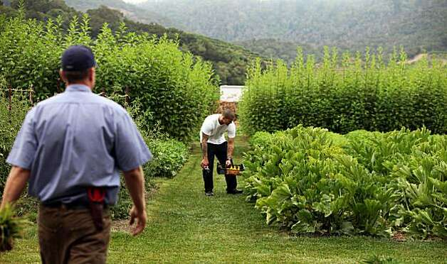The French Laundry gardener Aaron Keefer left, walks up to assist Albert Mayr from the restaurant's kitchen staff as he picks squash blossoms from the 3-acre garden for tonights menu. This small plot supplies 30 percent of the restaurant's produce, as well as acting as a test site for vegetables. Right now, they're growing root vegetables from the Andes. Wednesday August 18, 2010. Photo: Lance Iversen, The Chronicle