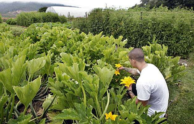 Albert Mayr from the French Laundry kitchen staff picks squash blossoms that will be used in a salad Wednesday August 18, 2010.The 3-acre garden, located across the street from the five start Yountville restaurant supplies 30 percent of the produce used, and the garden also acts as a test site. Right now, they're growing root vegetables from the Andes. Photo: Lance Iversen, The Chronicle